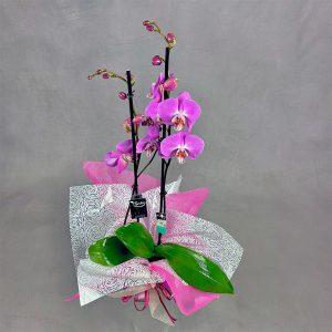 Orquídea floreciendo con muchas flores rosas para comprar online con sello de calidad holandesa Decorum