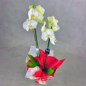 Orquídea de flores blancas decorada con lazo rojo para comprar online con el sello de calidad Decorum