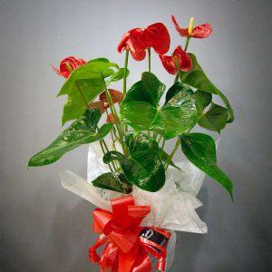 Planta natural Anthurium de la Floristería online Valladolid